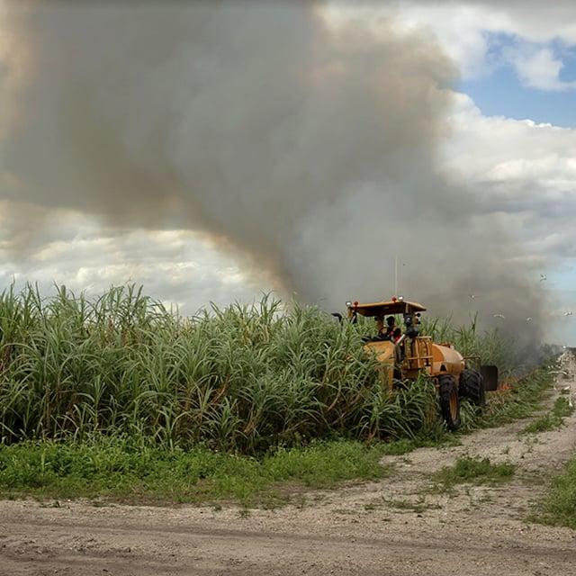 収穫の前に、労働者はトーチを振るうトラックで杖に火をつけます。